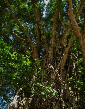 Balete  (Ficus) trees are believed to be dwelling places for spirits or supernatural beings. Photo by Miloe88